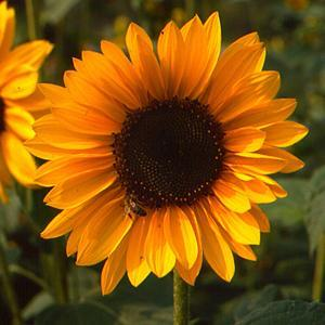 Image result for Sonja helianthus