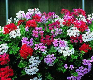 Pelargonium peltatum 39 summer showers 39 mixed f1 hybrid for Geranio parigino