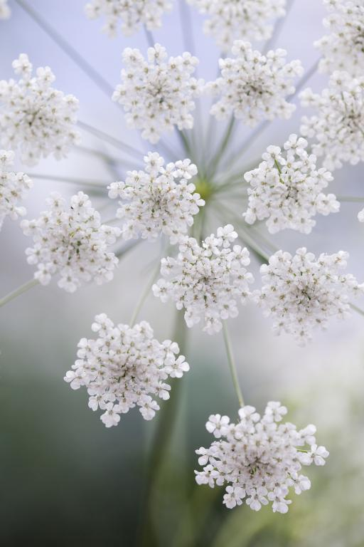 Ammi Majus Snowflake Seeds 163 2 25 From Chiltern Seeds