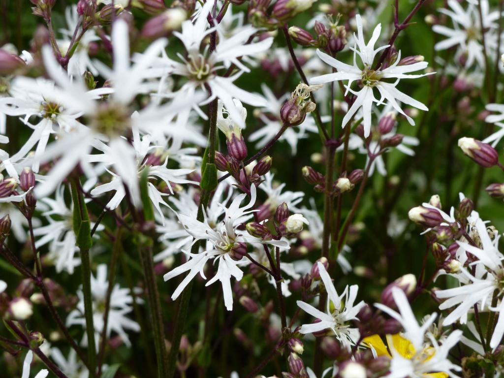 lychnis flos cuculi 39 white robin 39 seeds from chiltern seeds chiltern seeds secure. Black Bedroom Furniture Sets. Home Design Ideas
