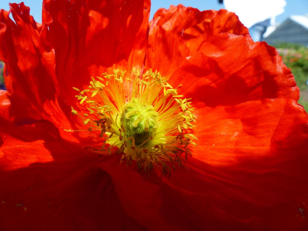 Papaver Nudicaule Red Sails Seeds 245 From Chiltern Seeds