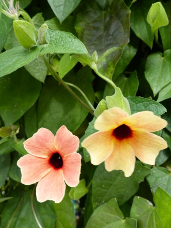 Thunbergia Alata African Sunset Mixed Seeds 163 2 25 From