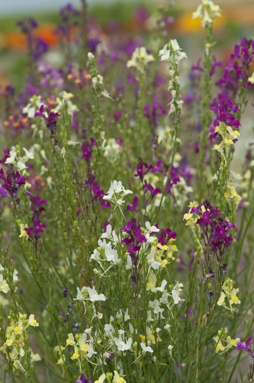 Linaria maroccana 'Sweeties' Seeds £1 95 from Chiltern Seeds