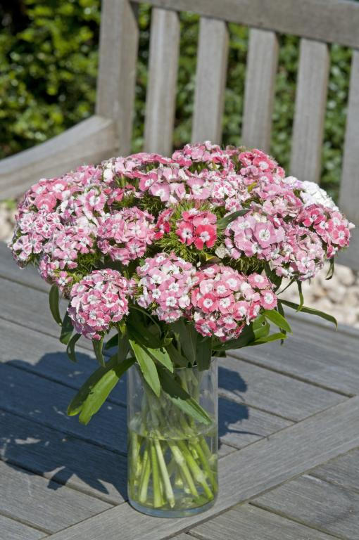 how to grow dianthus barbatus from seeds