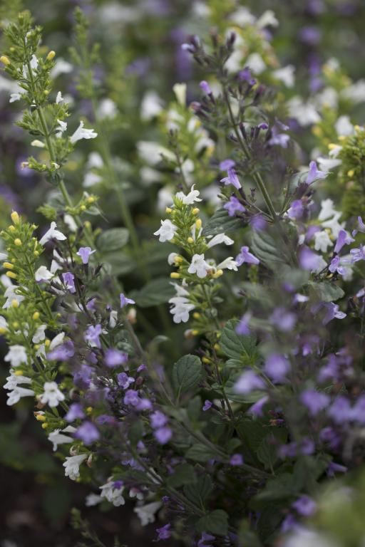 Calamintha Nepeta Marvelette Blue White Seeds 245 From