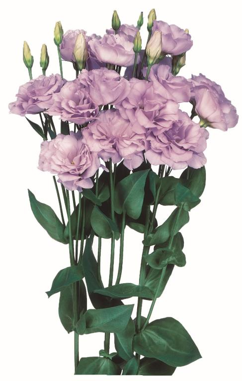 Eustoma Grandiflorum Echo Series Echo Lavender F1 Hybrid Seeds 2 95 From Chiltern Seeds Chiltern Seeds Secure Online Seed Catalogue And Shop