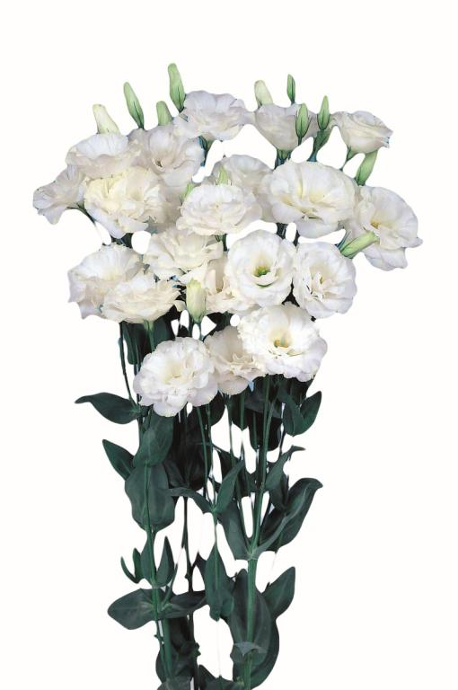 Eustoma Grandiflorum Echo Series Echo White F1 Hybrid Seeds 2 95 From Chiltern Seeds Chiltern Seeds Secure Online Seed Catalogue And Shop