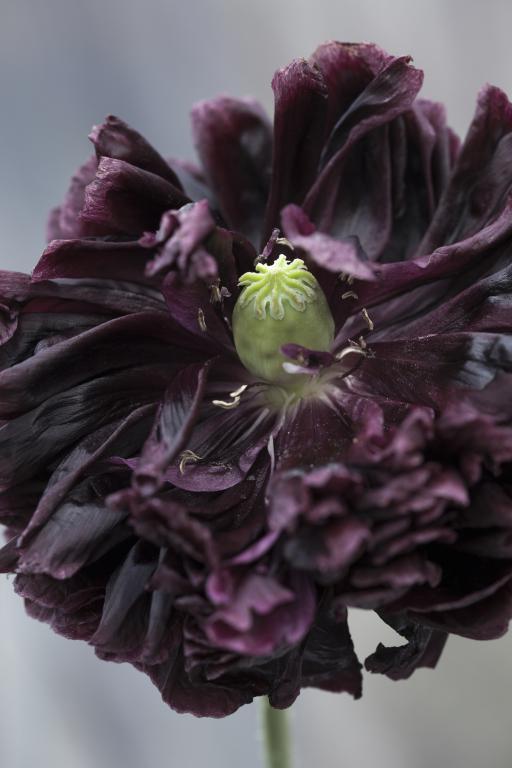 Papaver Somniferum Var Paeoniflorum Black Peony Seeds 248 From