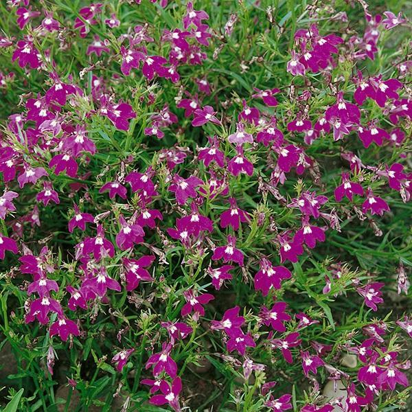 Lobelia Erinus Pendula Fountain Series Crimson Fountain Seeds