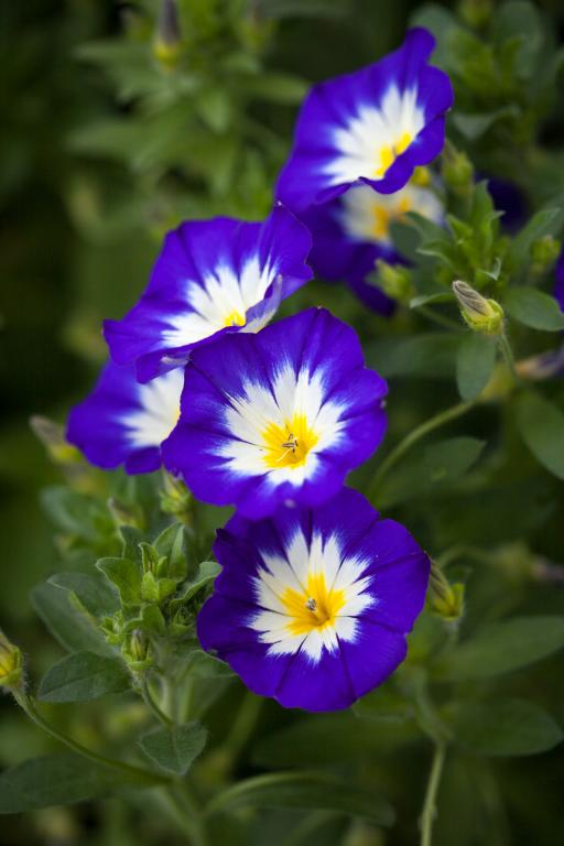 Convolvulus Tricolor Royal Ensign Seeds 163 1 85 From