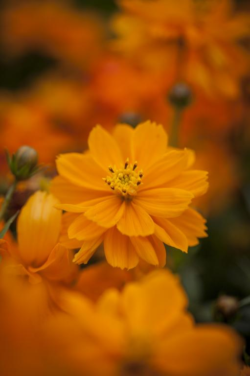 Cosmos Sulphureus Cosmic Series Cosmic Orange Seeds 2 45 From Chiltern Seeds Chiltern Seeds Secure Online Seed Catalogue And Shop
