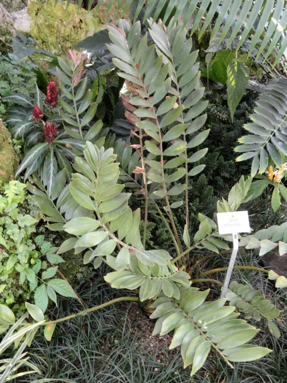 Zamia furfuracea seeds from chiltern seeds for Planta ornamental zamia