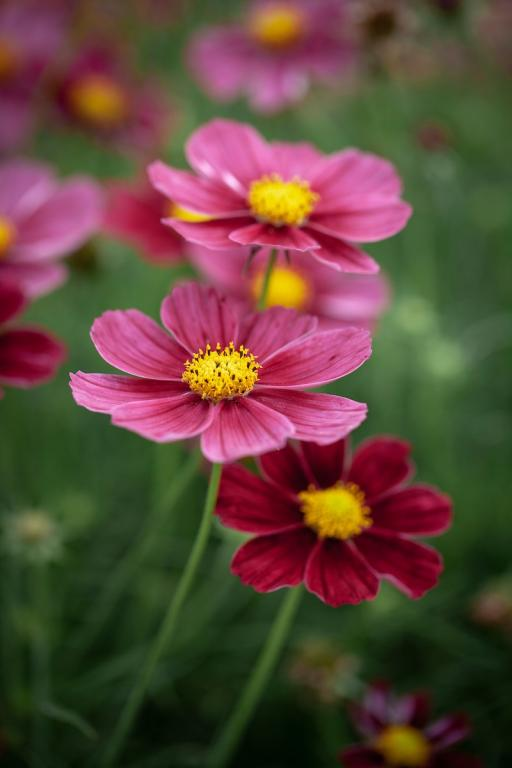 Cosmos Antiquity 40 Seeds Annual Rich Burgandy