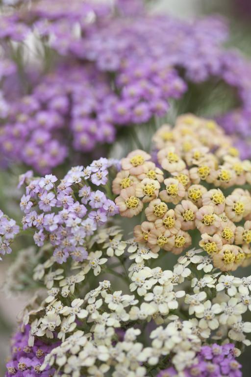 Easy Hardy Perennial. Yarrow - 20 seeds Achillea millefolium Summer Pastels