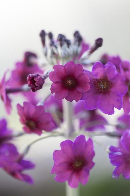 Flower Large Primula Pulverulenta 500 Seeds
