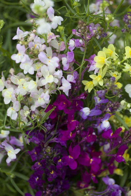 Linaria maroccana, 'Fairy Bouquet' Mixed Colours Seeds £1 45